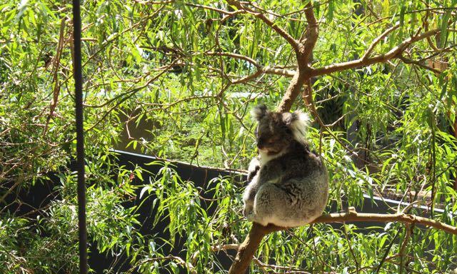 Ein fauler Koala