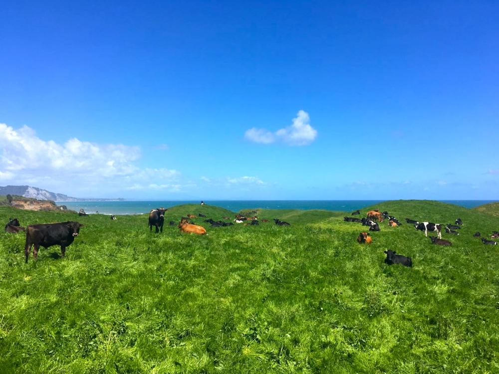 Kühe statt den 3 Schwestern - cows instead of the 3 sisters